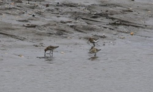 Curlew Sandpiper with Dunlin