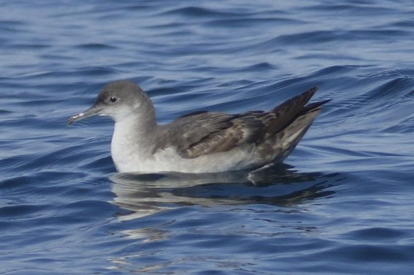 Balearic Shearwater - photo Rob Dart