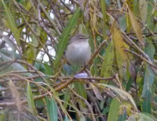 Siberian Chiffchaff Youngs Park Goodrington 1st Dec 2014 ML