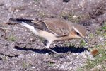 Wheatear © Martin Thorne, 28/9/2018, Lundy, On Lundy in September.