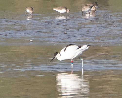 Ringed Avocet