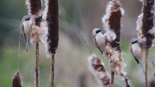 3-Penduline Tits at Darts Farm