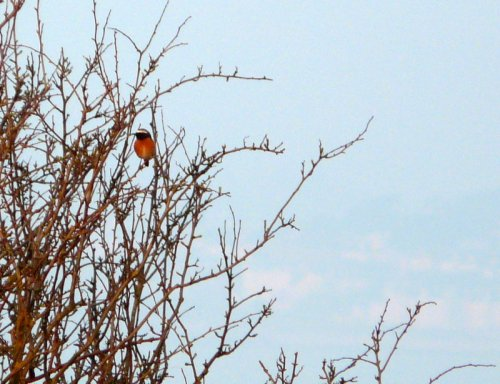 second redstart of the spring on Orcombe