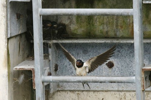 Adult swallow & nest behind