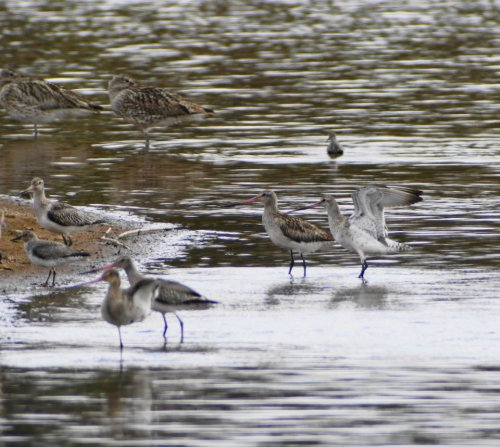 3 Bar-tailed Godwits with 1 wings outstretched