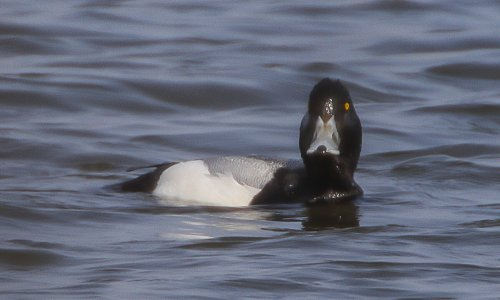 Adult male Scaup