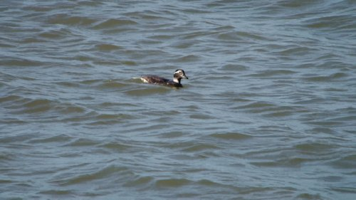 Long-Tailed Duck (female summer) Exton 19-6-2015