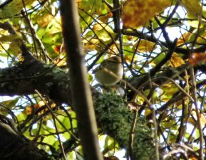 Yellow-browed Warbler Clennon Lakes 14 Nov 2014 ML