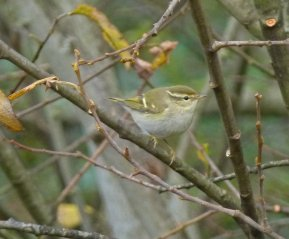 Yellow-browed Warbler Clennon Valley YMCA 23 November 2014 ML