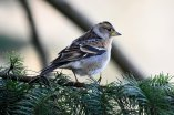 Female Brambling