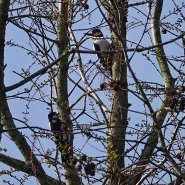 Pair of greater spotted woodpeckers