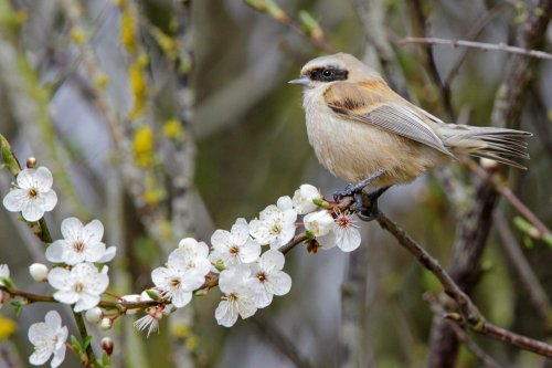 Penduline Tit in the Spring Blossom