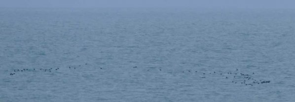 Common Scoter Flock Berry Head 7th July 2015 ML