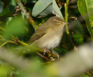 collibita Chiffchaff Clennon Valley 12 Nov 2013 ML