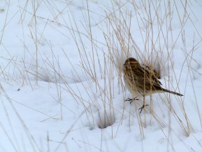 Reed Bunting Dartmoor 20 Jan 13 ML