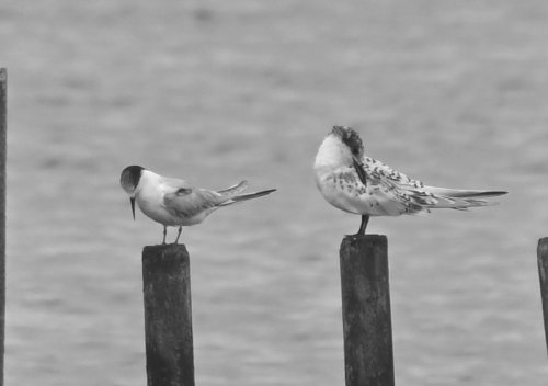 1st summer Common Tern and Juv Sandwich Tern