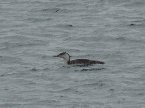 Immature(?) Red-throated Diver.