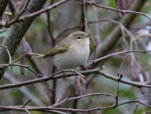 eastern Chiffchaff Clennon Valley 27 Nov 2013 ML3