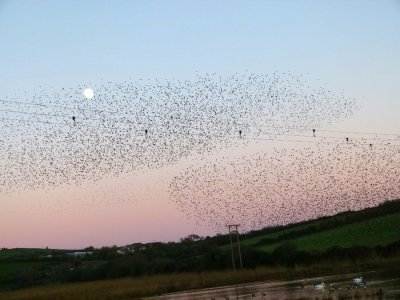 starling roost Thurlestone 2011 ©