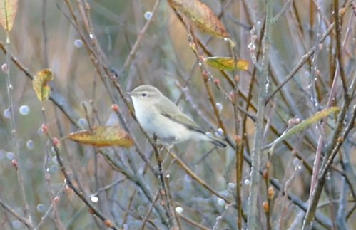 Siberian Chiffchaff Clennon Lakes 11 Dec 2016 ML