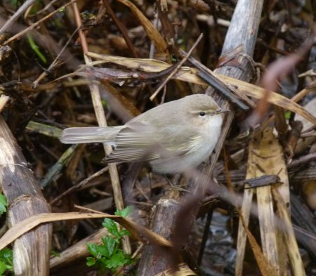 Siberian Chiffchaff Broadsands 31 Dec 2013 ML