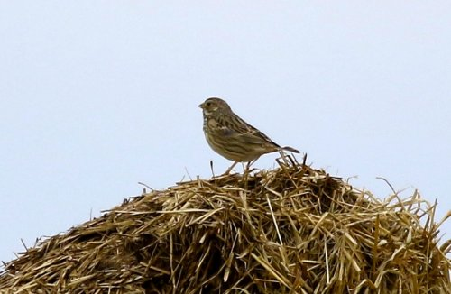 Corn Bunting - Exmouth