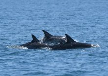 2 calves in middle of 3 protecting adult Common Dolphins