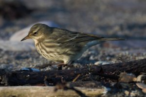 scand? Rock pipit Wembury 1 Dec 2012 NM