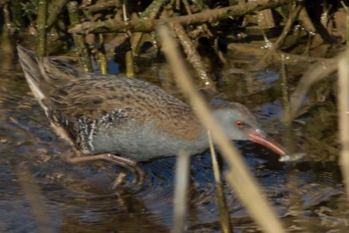 Water Rail - West Charleton - 4.3.15