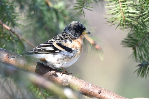 Brambling - Halden Forest Park
