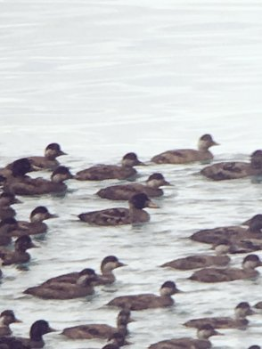 Surf Scoter Man Sands 8 Jan 2016 MRABb