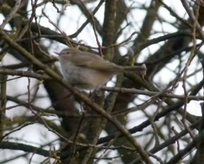 tristis Chiffchaff Clennon Valley 2 April 2013 ML