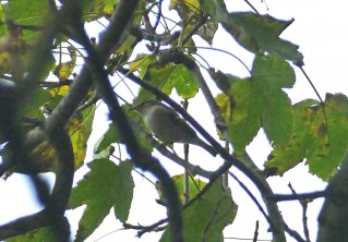 Yellow-browed Warbler Berry Hd 091118 ML