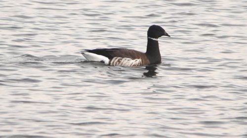 Black Brant  Exmouth  15-10-2015