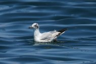 Mediterranean Gull, first summer
