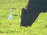 One of the two Cattle Egret