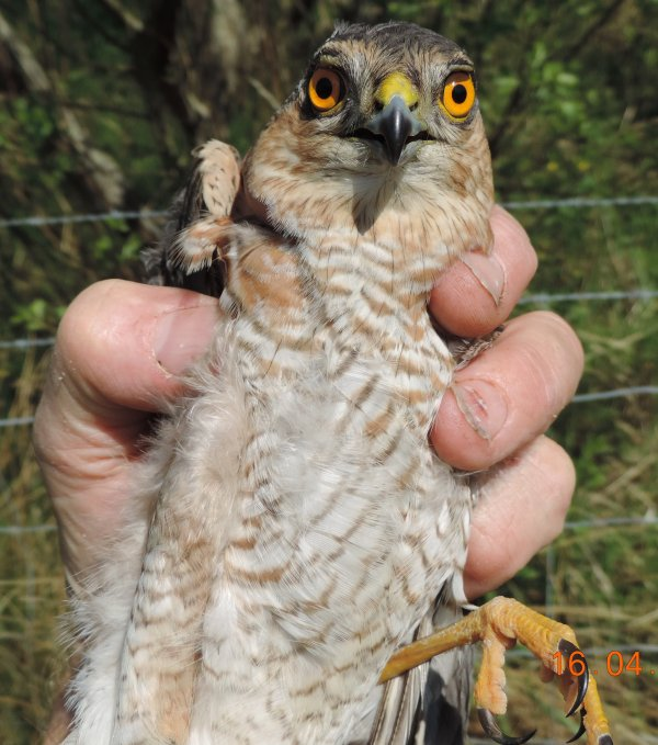 2nd cal-yr Sparrowhawk ringed at Velator