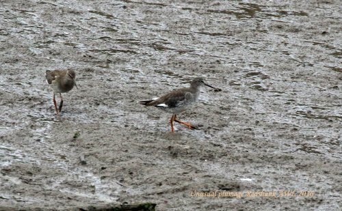 Unusual Redshank