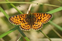 Small Pearl Bordered Fritilary