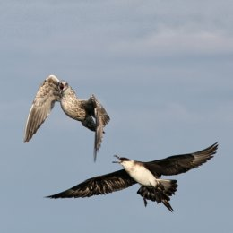 Arctic Skua with juvenile Herring Gull