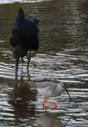Glossy Ibis with Spotted Redshank