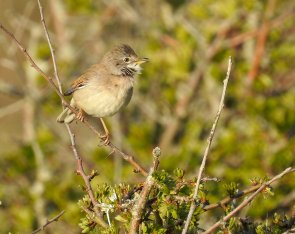 Whitethroat Berry Head 17 April 2021 ML