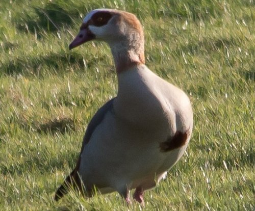 Egyptian Goose -South Efford Marsh -01.02.15