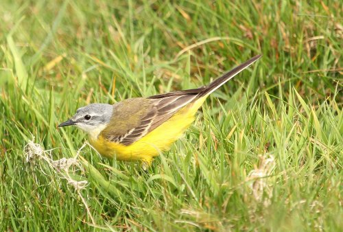 Blue Headed Wagtail