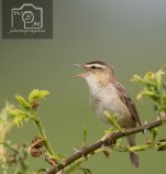 Sedge Warbler Powderham to turf locks inn path