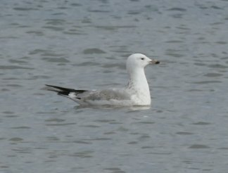 CaspGull2nWBrdsnds111115ML