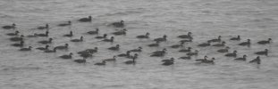 Common Scoter © Phil & Sue Naylor, 1/1/2020, Baggy Point, Flock drifted with tide before flying back to start drifting again :)