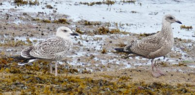juvenile Yellow-legged Gull Preston with Herring Gull Juv July 21 2017 ML