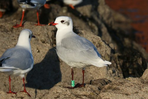 French ringed Mediterranean Gull, green RLN4