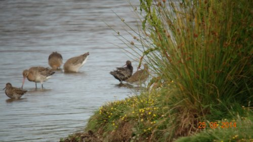 sp Spotted Redshank